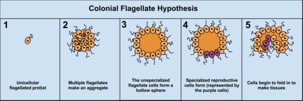 799px-ColonialFlagellateHypothesis